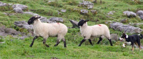 sheepdog-981880_1920